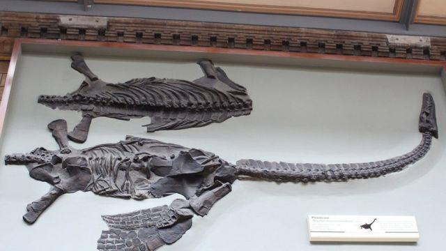 O esqueleto fossilizado de um dinossauro batizado em homenagem a David Attenborough