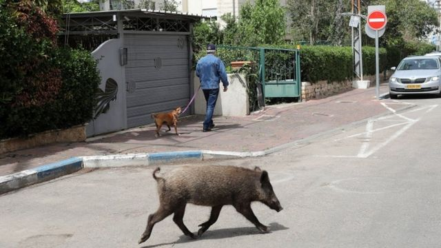 Jabalíes en Haifa, Israel.