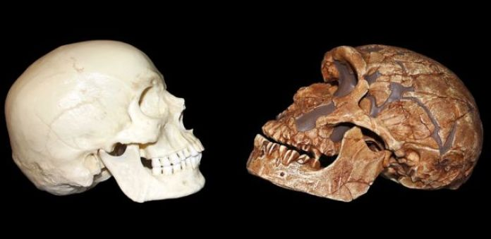Crânio neandertal comparado com o do Homo sapiens