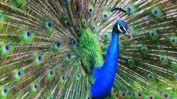 يرمز الطاووس في الكثير من الثقافات إلى الغرور لجماله