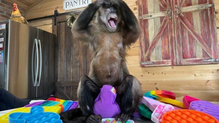 monkey raises hands and smiles