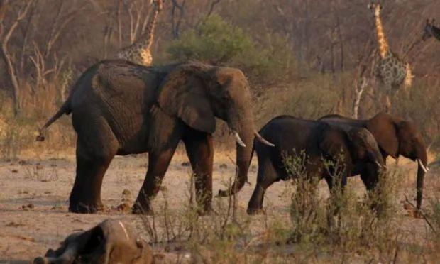 Zimbabve'deki filler