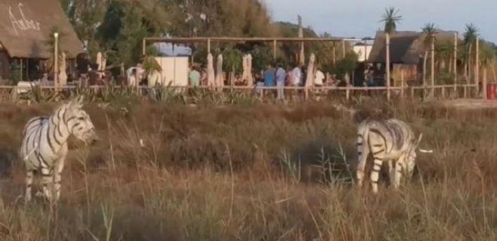 Düğün safari