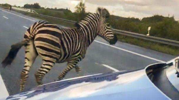 Image result for zebra german motorway