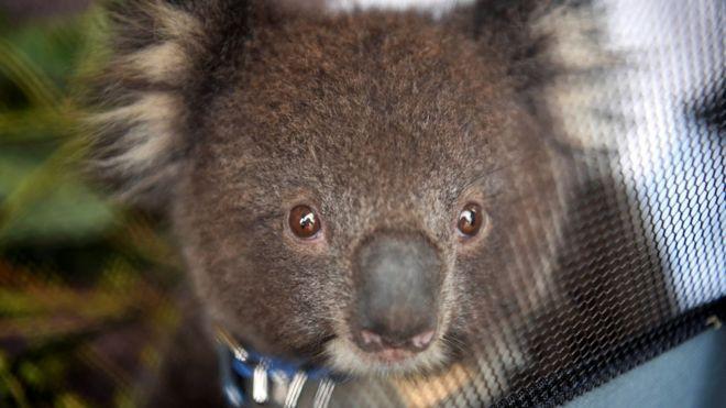 Koalas found dead on Australia logging plantation