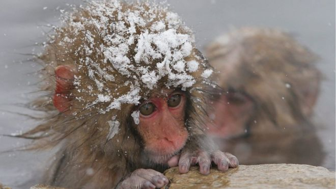 Japanese macaques, commonly known as snow monkeys