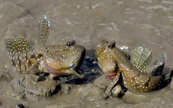 أسماك نطاط الطين