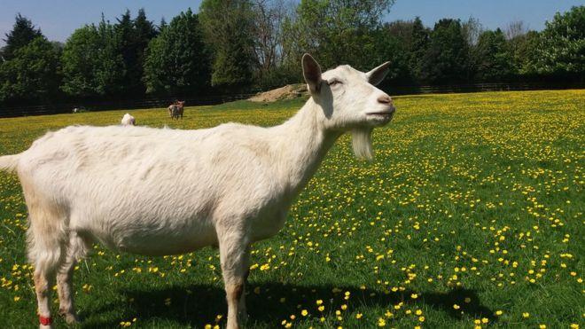 goats drawn to happy