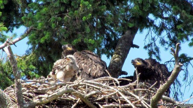 bald eagles adopt mortal