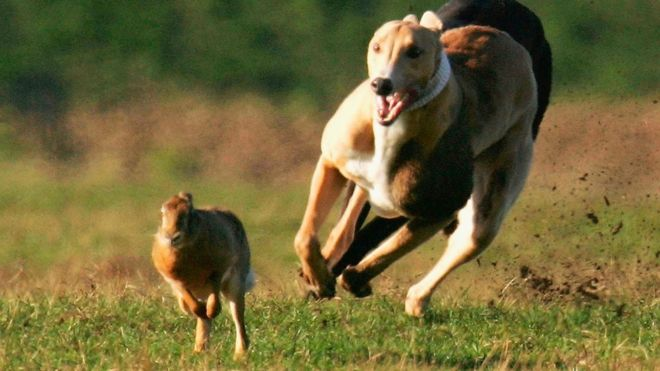 Greyhound chasing a hare