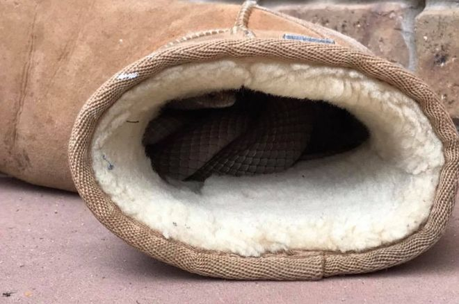 An eastern brown snake snuggled inside an Australian woman's Ugg boot