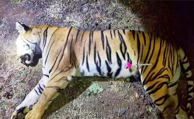 india s tiger killings