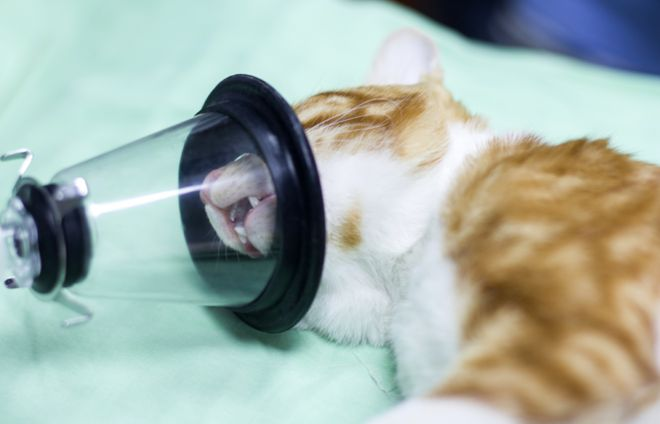Cat under anaesthetic