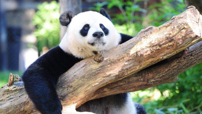 giant pandas rebound off