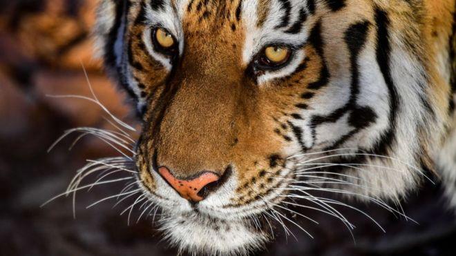 cannabis smoker finds tiger