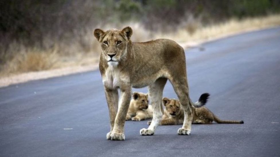 Lioness and cubs in Kruger National Park