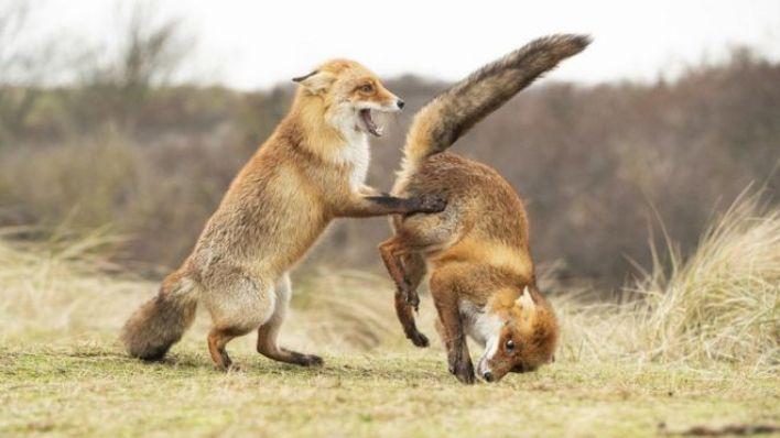 جوائز مسابقة تصوير كوميديا الحياة البرية 2019: الصور التي وصلت للنهائي