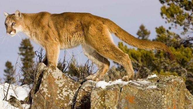 colorado runner kills cougar