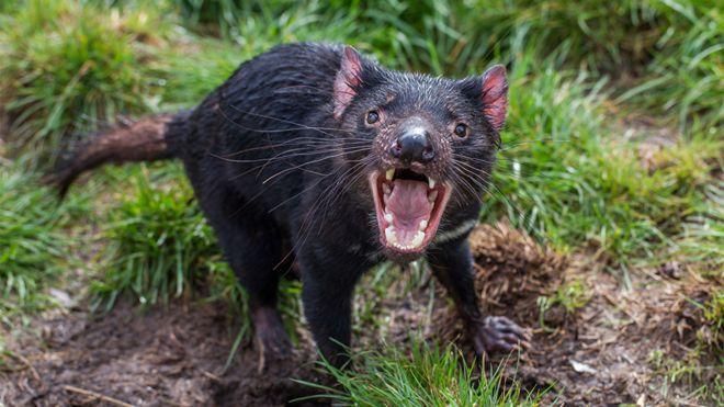 tasmanian devils adapting to