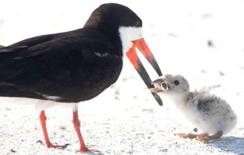 Pájaro rayador americano dándole a su cría la colilla de un cigarrillo en una playa de Florida.