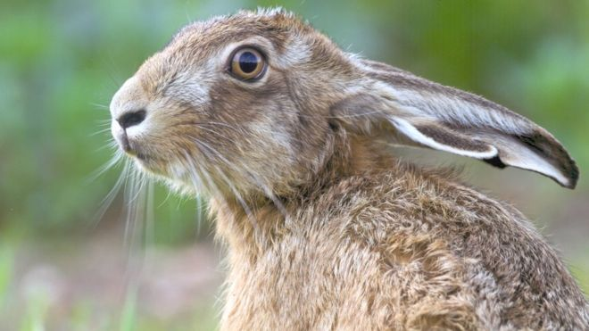 mystery over dead hares
