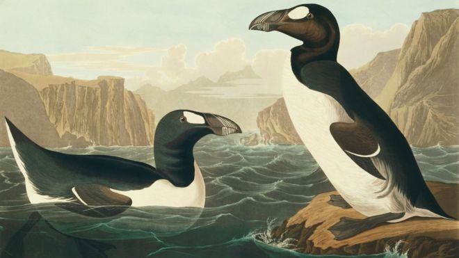 Great auk extinction: Humans wiped out giant seabird