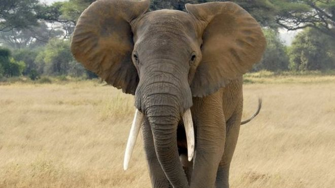 africa elephants face survival