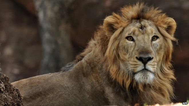 An Asiatic lion, in a picture taken on 11 May 2011.