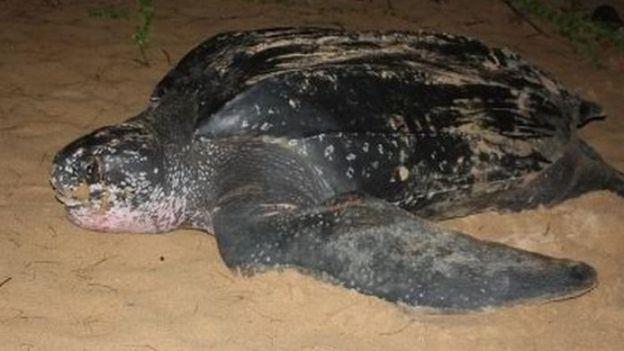 දාර කැස්බෑවා - Leatherback turtle (Dermochelyscoriacea)