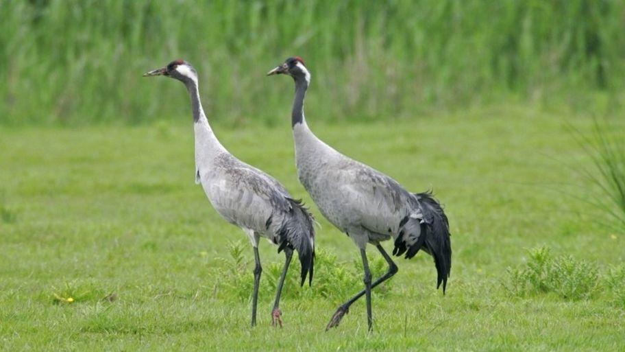 common crane the uk