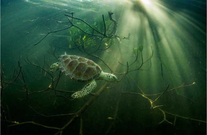 A green turtle swims amongst mangrove tree roots in the Bahamas