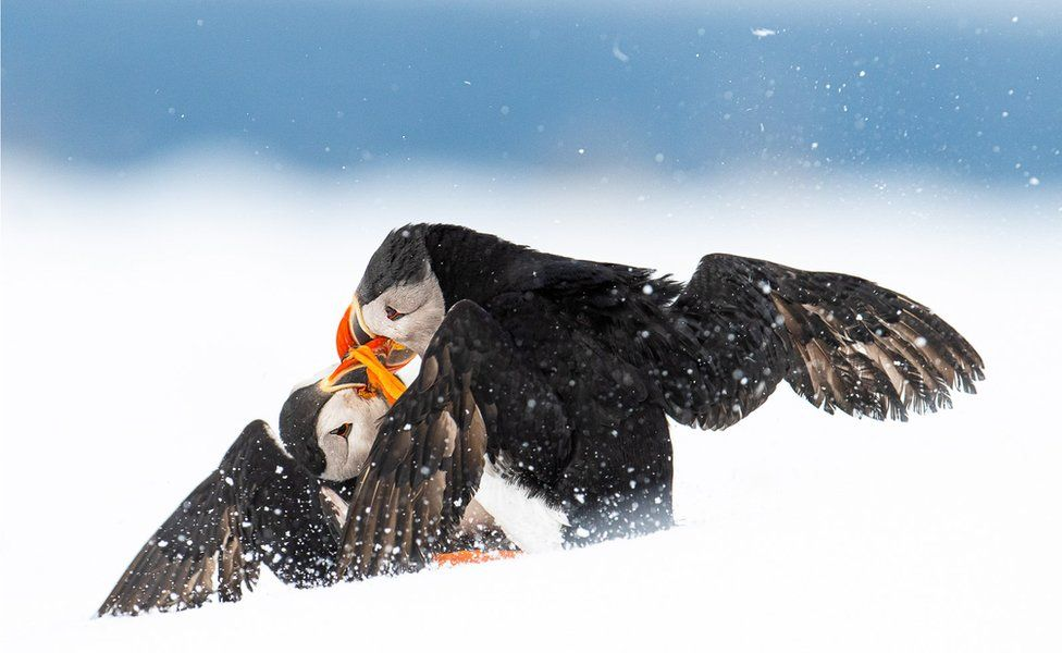Two puffins fight in the snow