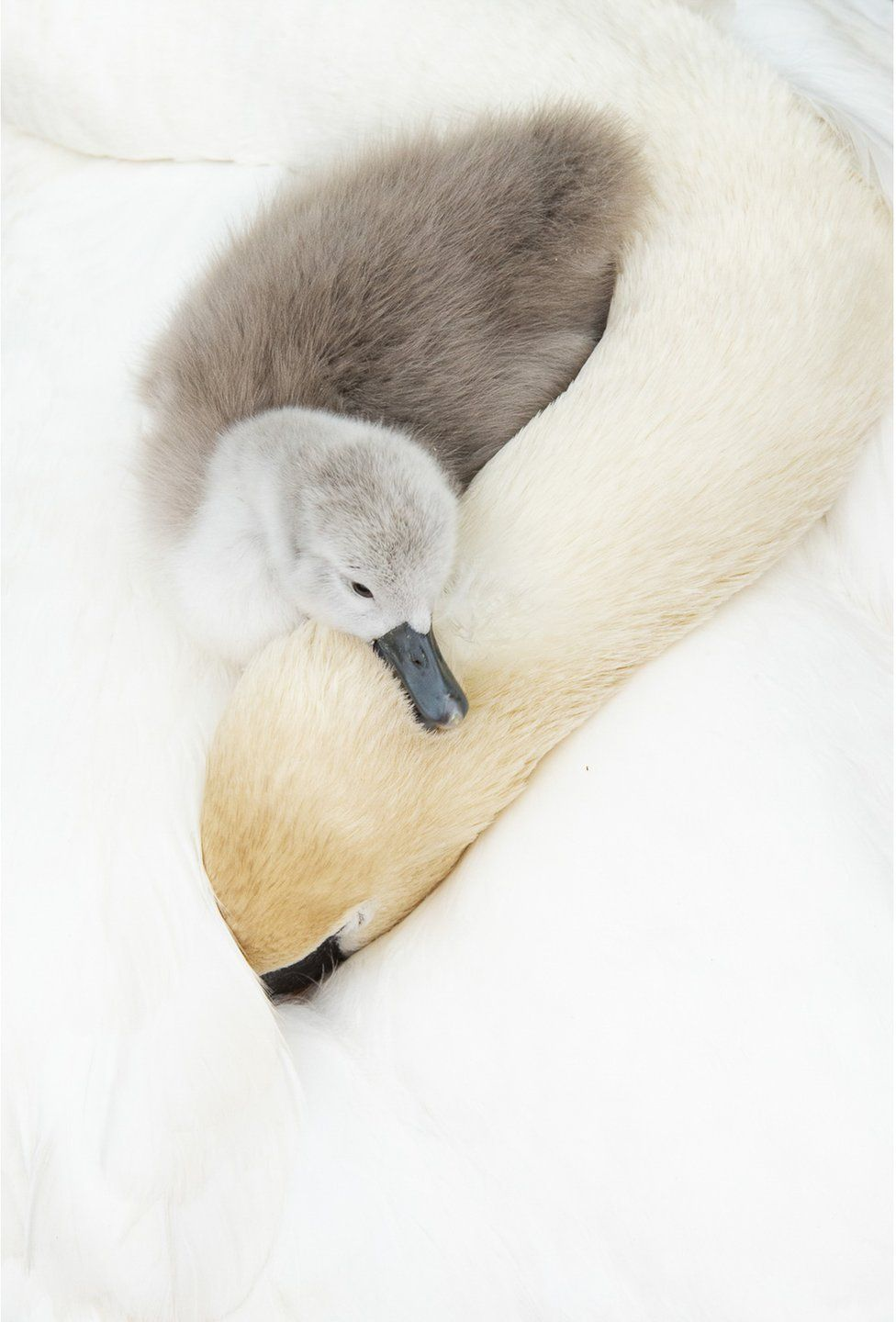 A baby swan rests its head on its mother's neck
