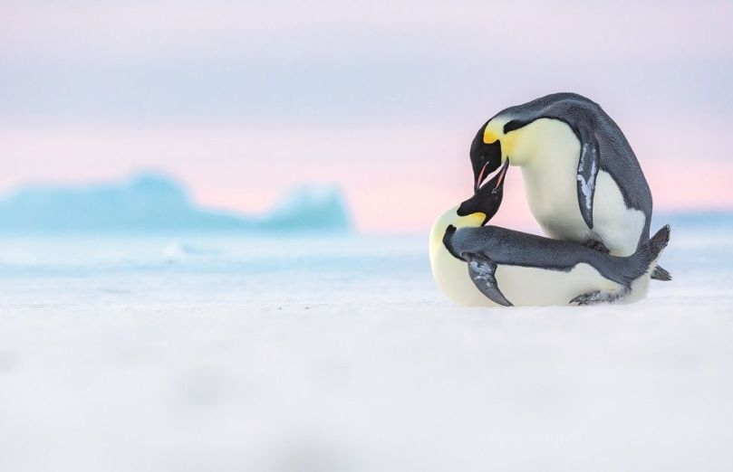 Two penguins mate on ice