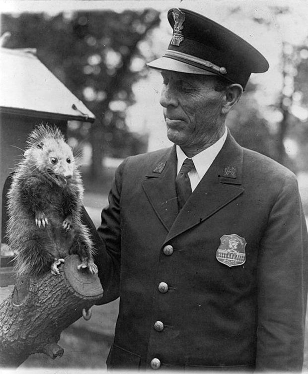A policeman holds a wild opossum by the scruff of the neck