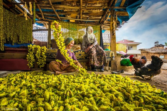 Two women with chickens, sat outdoors under a wooden shelter and surrounded by yellow okra