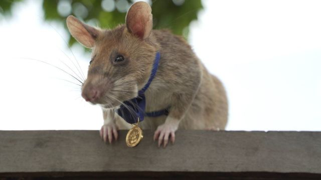 Magawa, szczur wykrywający miny lądowe, noszący swój złoty medal PDSA o specjalnej wielkości