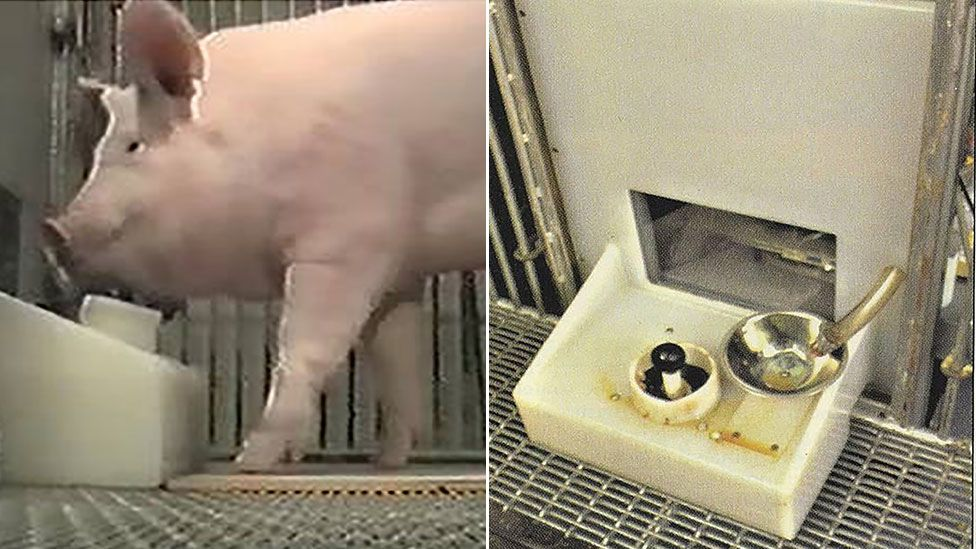 A composite shows one of the Yorkshire pigs using the apparatus, left, and a close-up of the food dispenser on the right
