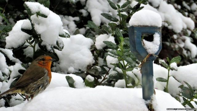 A robin on the snow