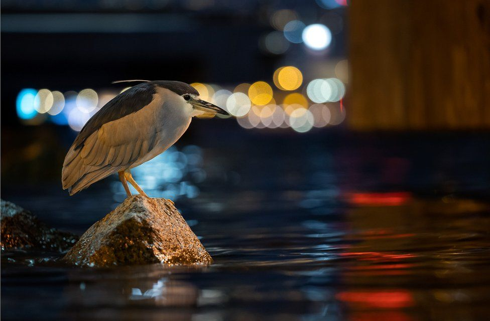 A black-crowned night-heron perches on a rock in a harbour in an urban area