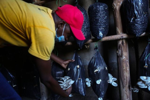 A man tends to mushrooms that are growing from plastic bags hung in rows.