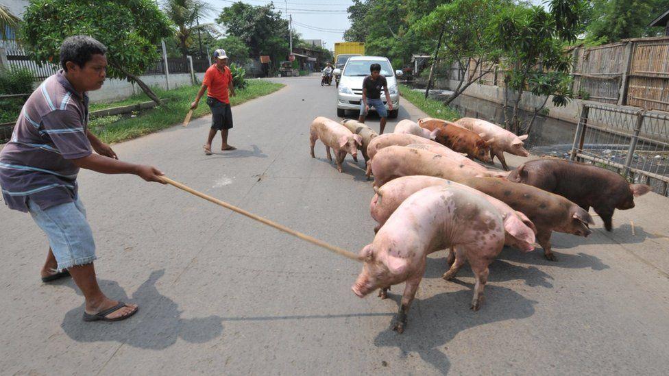 Kolera dan demam babi Afrika sebabkan ribuan babi mati di Sumut ...