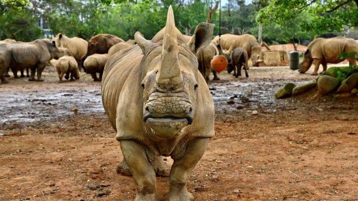 Emma, uma rinoceronte branca do sul de cinco anos, fica na frente de outros rinocerontes antes de viajar de Taiwan