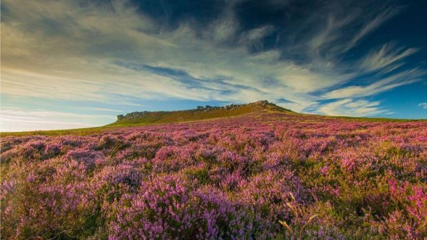 Heather in the Peak District
