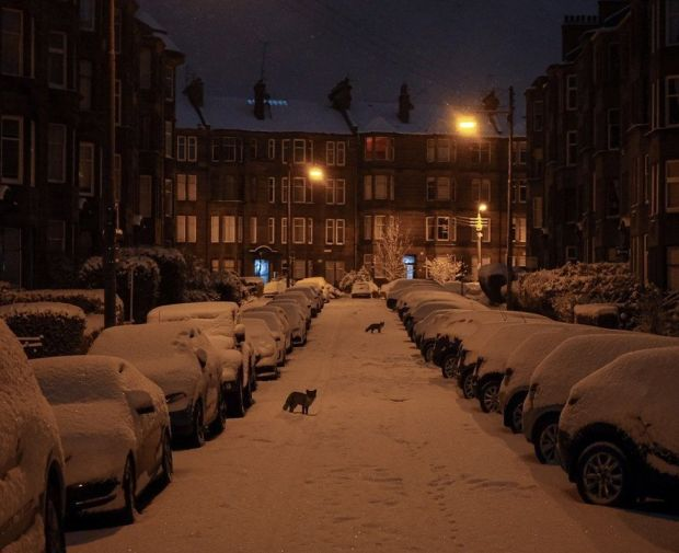 Foxes in Glasgow's West End