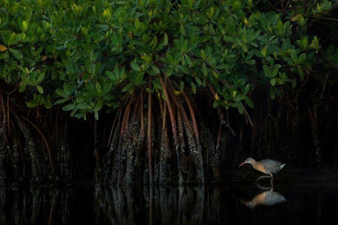 A clapper rail walks in water in a mangrove forest in the USA
