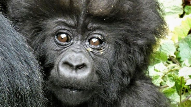 A baby gorilla.