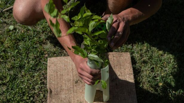 A gardener plants a young hornbeam as part of Milan's reforesting project