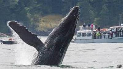 150115153022 ba 304x171 ap - El misterio del canto cambiante de las ballenas boreales