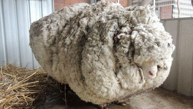 Resultado de imagen de ovejas escocesas